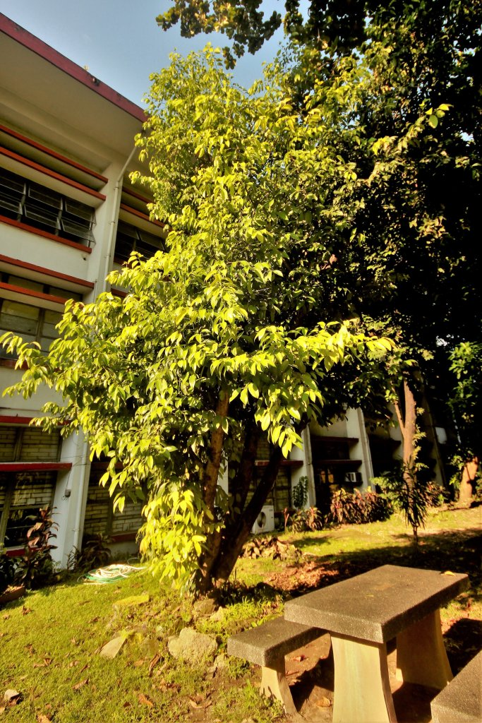 The kalingag tree by the Rizal park at AS. (Photo by Jo. Lontoc, UP MPRO)