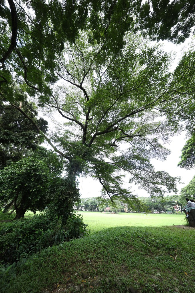 The calumpit tree with its boughs shading a corner of the Sunken Garden. (Photo by Misael Bacani, UP MPRO)