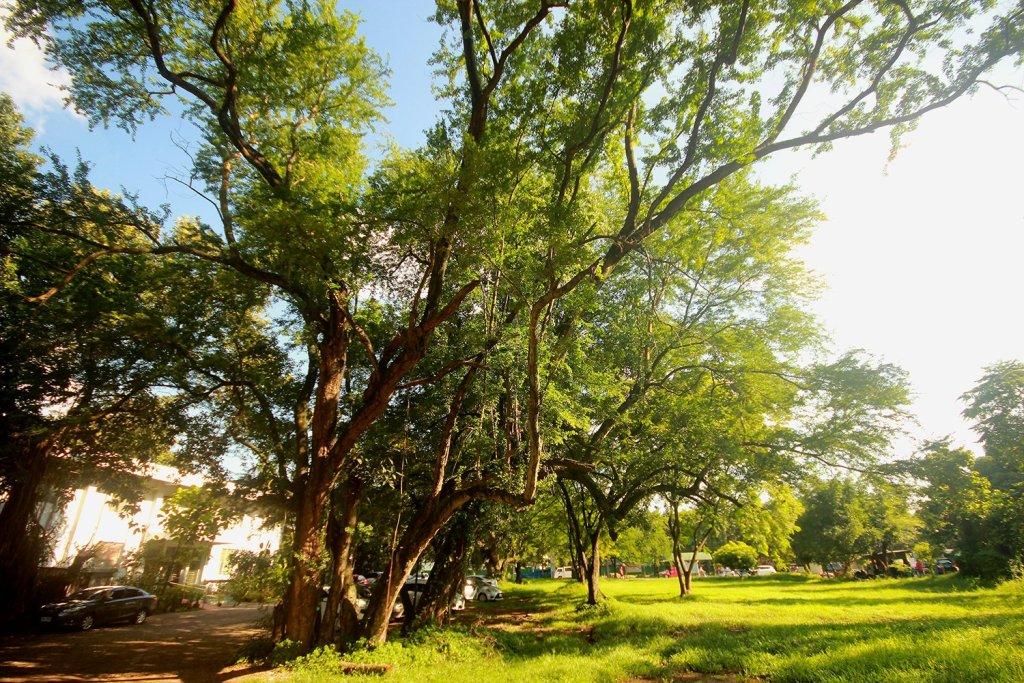 The strongest of four surviving camachile trees along Velasquez Street. (Photo by Jo. Lontoc, UP MPRO)