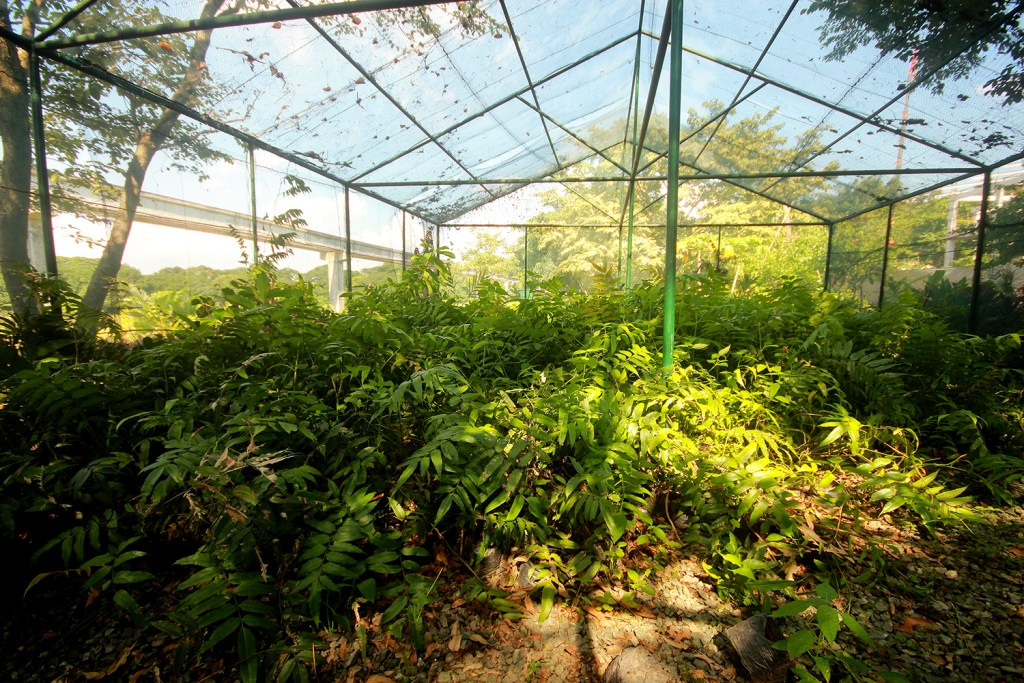 Diliman ferns obtained from a forest at the border of Laguna and Quezon provinces are propagated in the nursery. (Photo by Jo. Lontoc, UP MPRO)