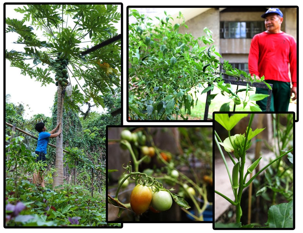 A sampling of dorm produce: clockwise from top right, landscape maintenance staff Joel Cia and the chilies at the Men's Residence Hall; okra; tomatoes; and MS Entomology student Vanessa Jane Acabal getting her hands on some papaya at the International House garden. (Photos by Misael Bacani, UP MPRO)
