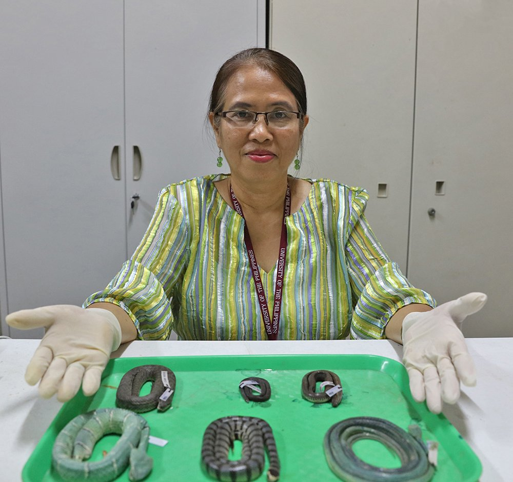 Dr. Leticia Afuang shows the latest snake specimens at the UPLB Museum of Natural History. (Photo by Misael Bacani, UP MPRO)