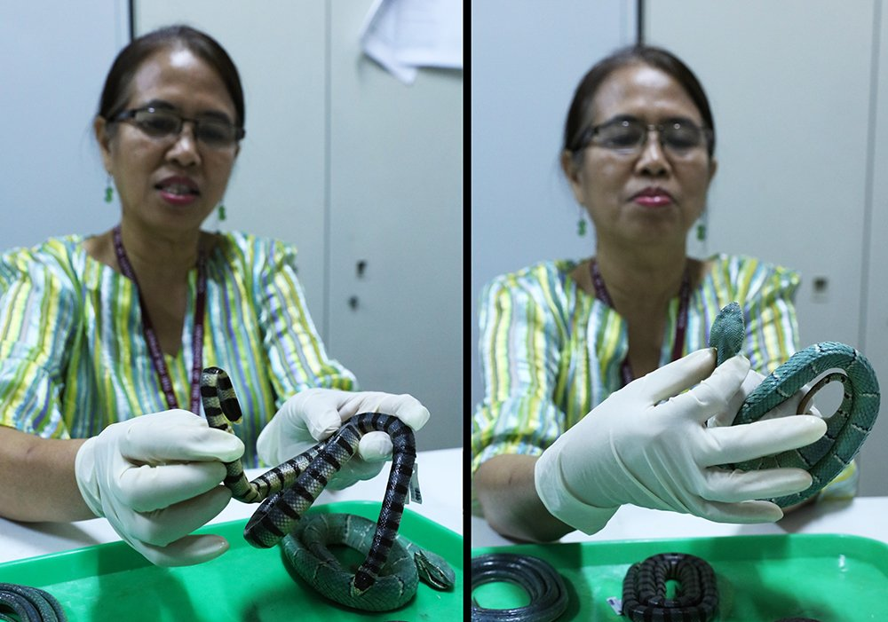 In the left photo, Dr. Afuang points out that sea snakes are distinguished by flat, paddle-like tails like this specimen, Laticauda semifasciata. In the other photo, she explains that a tell-tale sign a snake is venomous is the triangle-shaped head and skinny neck just like on the viper specimen she's holding, Tropidolaemus wagleri. Both snakes are found in the Philippines. (Photos by Misael Bacani, UP MPRO)