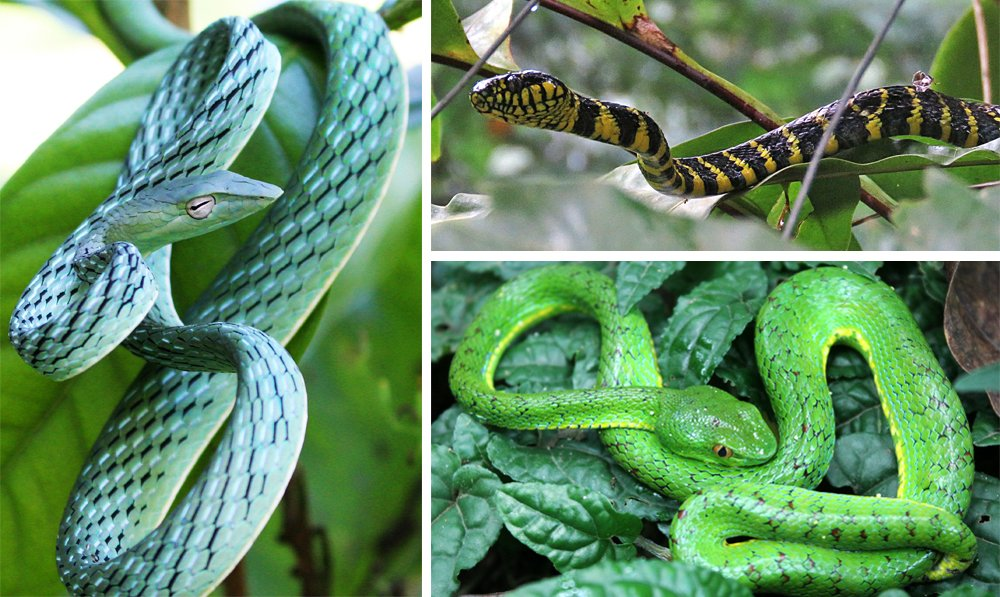Photos of snakes caught at the Mt. Makiling Forest Reserve from the UPLB Museum of Natural History Forest CANOPI Program Project 3 - Forest Canopy Vertebrate Fauna: clockwise from left, Ahaetulla prasina (Asian vine snake), Boiga dendrophila (Gold-ringed cat snake), and Trimeresurus flavomaculatus (Philippine pit viper)