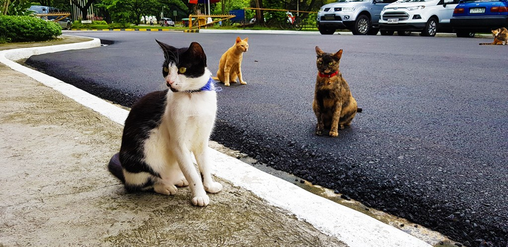 """Three of the resident feline """"stress-busters"""" of the UP College of Mass Communication. Note their collars. (Photo by Celeste Llaneta, UP MPRO)"""