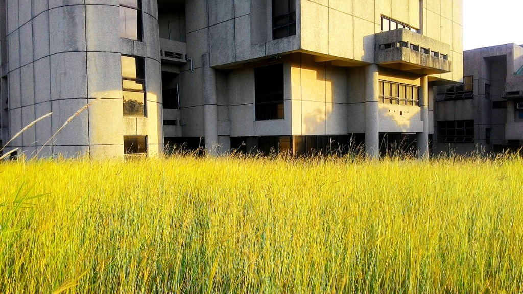 Grass growing freely behind the Institute of Math building, National Science Complex, UP Diliman. (Photo by Jo. Lontoc, UP MPRO)