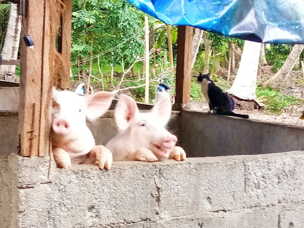 A typical backyard farm illustrating close interactions between animals. (Photo from Dr. Lyre Murao)